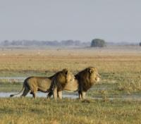 Game Viewing - Lions