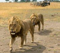 Lions and Game Drive