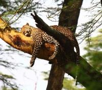 Leopard Game Viewing