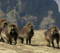 Gelada in the Simien Mountains