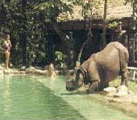 Rhino taking a dip at Machan Wildlife Resort