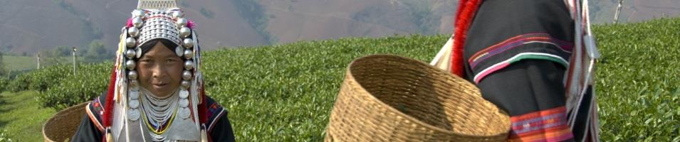 Akha Women Picking Tea Leaves