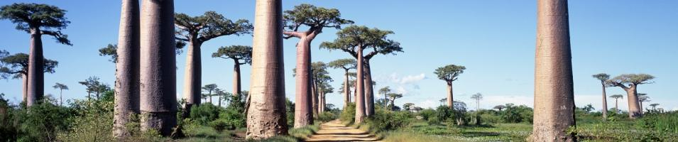 The Alley of Baobabs