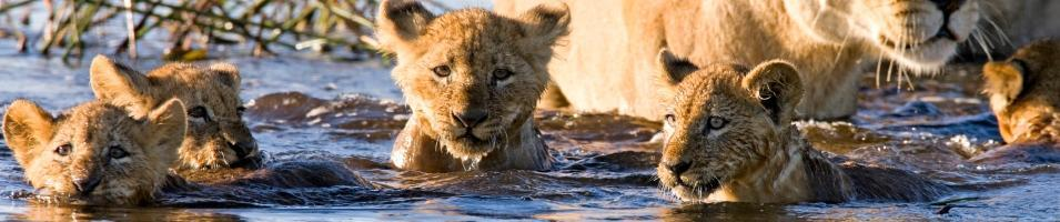 Lion Cubs in the Okavango Delta