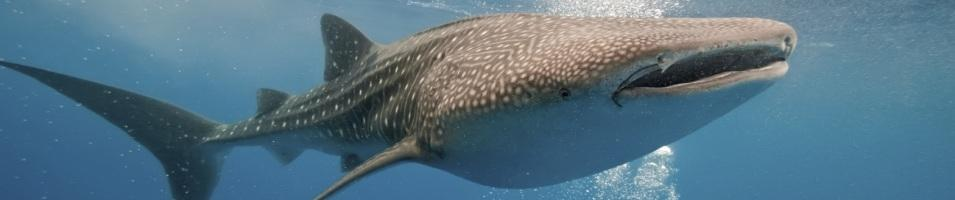 The Mighty Whale Shark