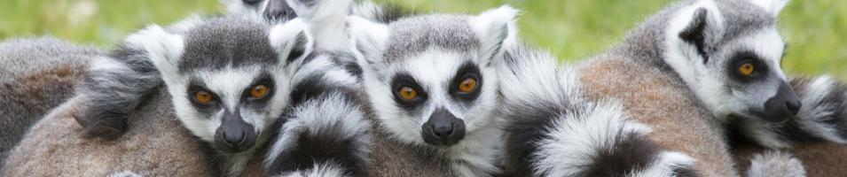 Young Ring Tailed Lemurs