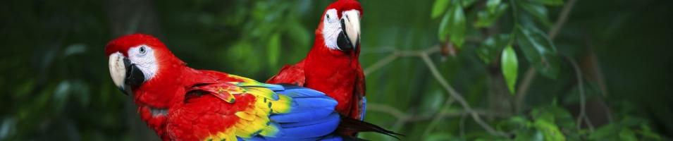 Amazon Scarlet Macaws