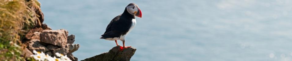 Puffin on a Perch