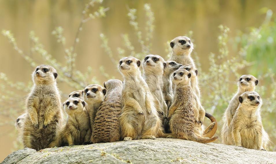 Meet playful meerkats in the Kalahari Desert.