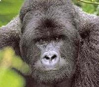 Gorillas, Big 5 & Beach Safari  Tours 2018 - 2019 -  Rwanda Parc National des Volcans