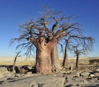 Baobab Tree within the Salt Pan