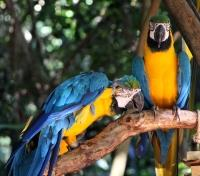Wild Lands of Guyana Tours 2019 - 2020 -  Blue and Yellow Macaw