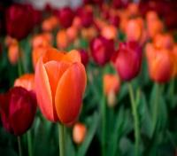 Paris, Amsterdam & Tulip River Cruise Tours 2017 - 2018 -  Tulip Farm