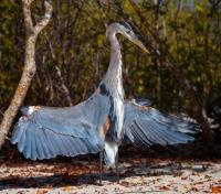 Galapagos by Land & Sea Tours 2019 - 2020 -  Great Blue Heron