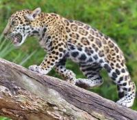 Wild Lands of Guyana Tours 2019 - 2020 -  Jaguar in the Jungle