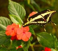 Panama - Sea to Sky Tours 2019 - 2020 -  Swallowtail Butterfly
