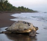 Costa Rica Highlights Tours 2019 - 2020 -  Sea Turtle near Tortuguero