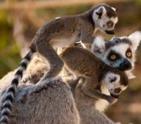 Madagascar Lemur Fever Tours 2017 - 2018 -  Ring Tailed Lemur Family
