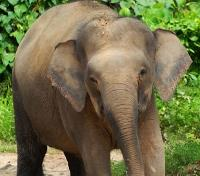 Malaysia: The Jungles of Borneo Tours 2020 - 2021 -  Borneo Elephant