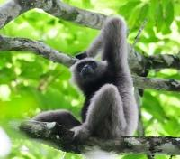 Singapore & Borneo Signature Tours 2019 - 2020 -  Gibbon