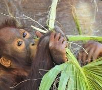 Singapore & Borneo Signature Tours 2019 - 2020 -  Young Orangutan