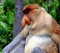 Singapore & Borneo Signature Tours 2019 - 2020 -  Proboscis Monkey