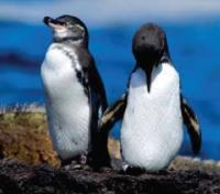 Galapagos by Land & Sea Tours 2019 - 2020 -  Galapagos Penguins