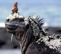 Galapagos by Land & Sea Tours 2019 - 2020 -  Marine Iguana