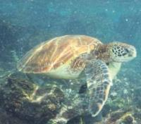 Galapagos by Land & Sea Tours 2019 - 2020 -  Sea Turtles