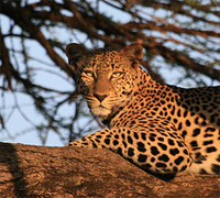 Kenya Active Adventure Tours 2019 - 2020 -  Samburu Leopard