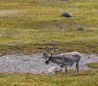 Awoken Wilderness of the Norwegian Summer Tours 2020 - 2021 -  Svalbard Reindeer