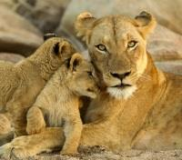 Cape, Rovos Rail & Kruger Tours 2019 - 2020 -  Lioness and Cubs in Sabi Sands