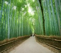 Cherry Blossom Season in Japan Tours 2020 - 2021 -  Bamboo Groves