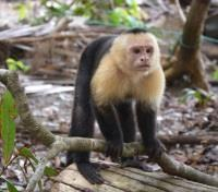 Costa Rica Christmas Adventure Tours 2017 - 2018 -  Monkey in the Jungle