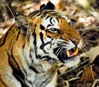 The Heart of India: Tigers, Temples & Taj Mahal Tours 2019 - 2020 -  Tiger at Bandhavgarh