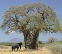 Tanzania Highlights Tours 2019 - 2020 -  Baobab tree