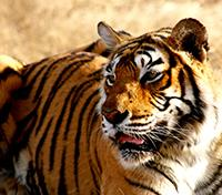 Jungles of India: In Kipling's Footsteps Tours 2019 - 2020 -  Bengal Tiger