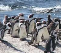 Best of Southern Africa Tours 2019 - 2020 -  Penguins near Cape Town