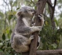 Australia Grand Journey Tours 2019 - 2020 -  Koala in Eucalypt Forest