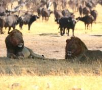 Zimbabwe Game Tracker - The Road Less Travelled Tours 2017 - 2018 -  Lion & African Buffalo