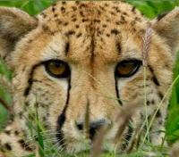 South Africa Wildlife Tracker Tours 2017 - 2018 -  Cheetah