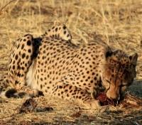 Namibia Dunes & Game Tracker Tours 2017 - 2018 -  Cheetah in Etosha