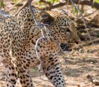 The Grand African Safari Tours 2019 - 2020 -  Prowling Leopard