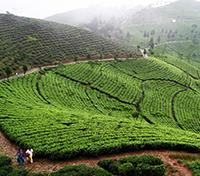 Sikkim and Bhutan Highlights Tours 2019 - 2020 -  Darjeeling Tea Plantation