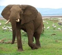 Serengeti Migration Safari Tours 2019 - 2020 -  Elephant