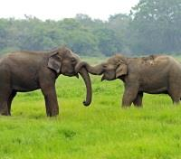 Authentic Sri Lanka: Wildlife & Locals Tours 2018 - 2019 -  Asian elephants