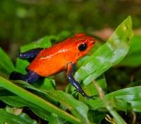 Costa Rica Highlights Tours 2019 - 2020 -  Blue Jean Poison Dart Frog