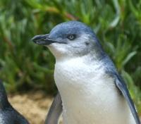 Australia Grand Journey Tours 2019 - 2020 -  Penguin