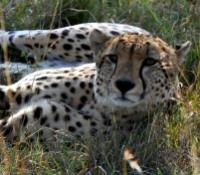 Namibia Dunes & Damaraland Tours 2019 - 2020 -  Cheetah in Namibia