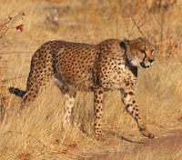 Namibia Dunes & Damaraland Tours 2019 - 2020 -  Cheetah on the Prowl